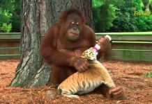Orangutan Take Care 3 Tiger Cubs