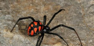 latrodectus widow spider