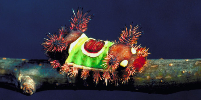 saddleback caterpillar acharia stimulea