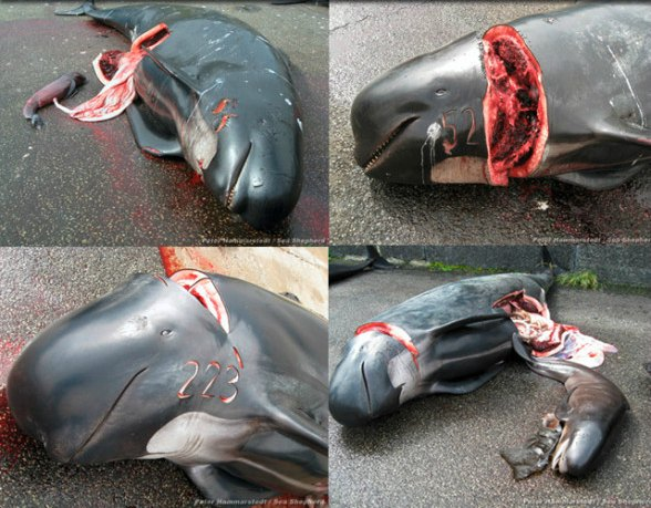 faroe islands whale death