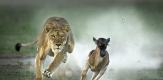 lion vs gazelle