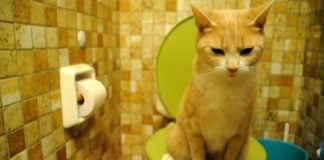 red cat pee toilet
