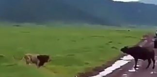 lion vs buffalo attack