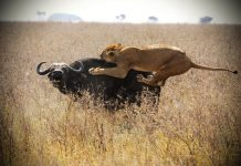 lion vs buffalo feature image