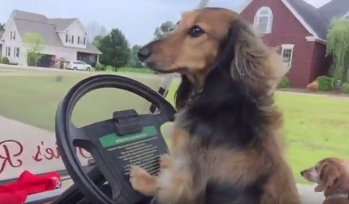 dachshun dog driving a car