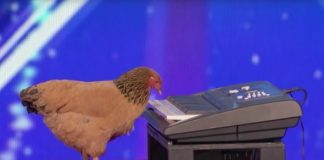 jokgu chicken plays piano americas got talent