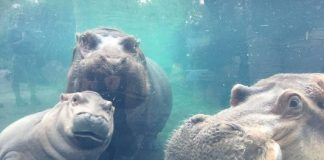 hippo fiona meet your parents