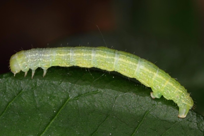 tomato plants induced caterpillar cannibal