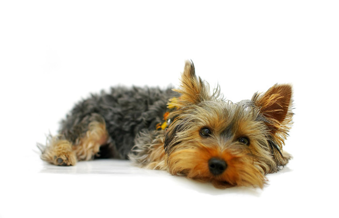yorkshire terrier normal size