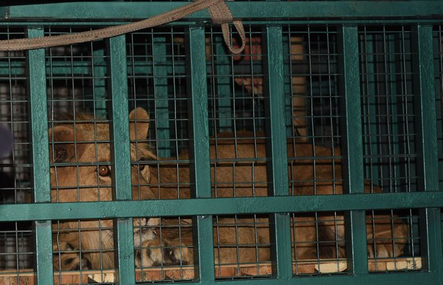 dana lioness rescued aleppo zoo