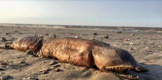 mysterious marine creature beached texas