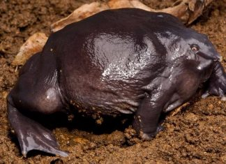 purple frog pork nose