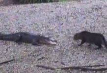 alligator vs housecat