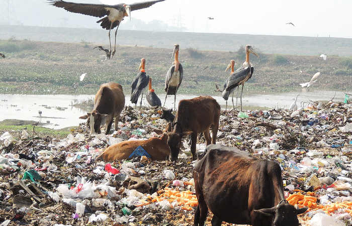 animals in garbage dump