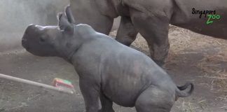 baby rhino loves cuddled brush singapore