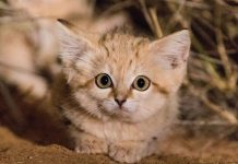 first-wild-sand-cat-kitten-footage