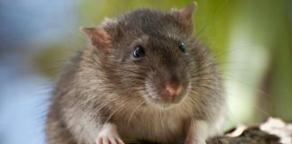 giant rat discovered solomon island