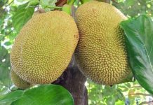 jackfruit worlds biggest cancer killer