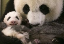 panda mother embracing her lovely cub